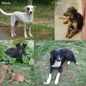 Cães para adoção
