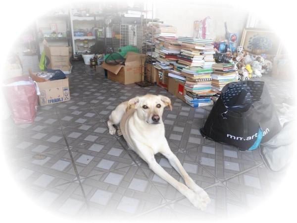 Esse é Akumaru, cãopanheiro da Adriana Duarte, cuidando do bazar