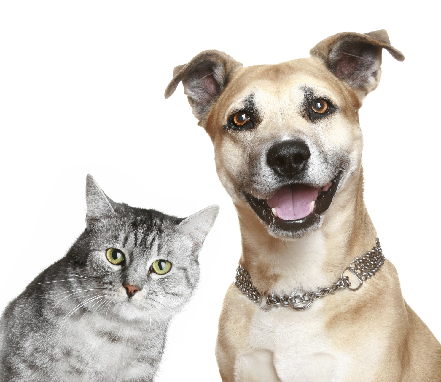 Staffordshire terrier and cat