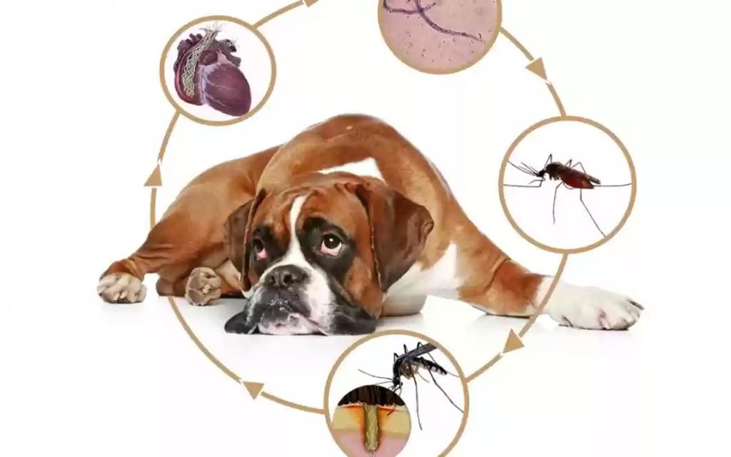 Dirofilariose-você-conhece-esta-doença-materia-1080x675